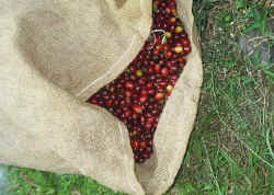 Bag of 'choke' cherry